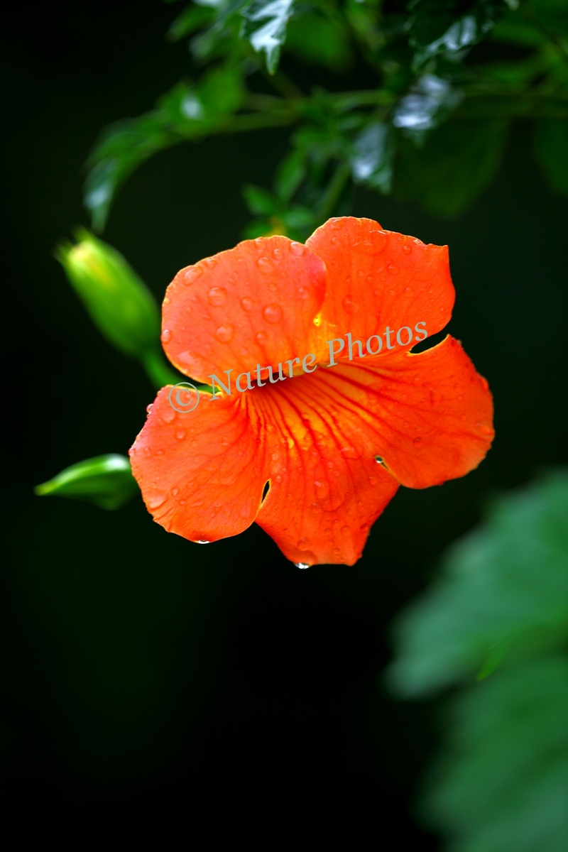 Flowering Orange Trumpet Vine