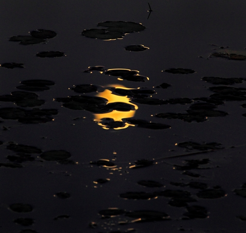 Moon light on Lilly Pads